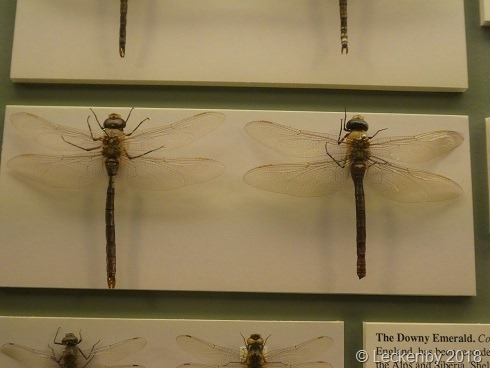 Dragonflies, or Snitch as we call them.